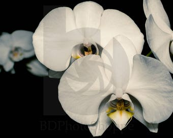 White Orchids | Flower Photo Art | Nature Lover Gift | Fine Art Photography | Personalization | BDPhotoShoppe | Home Office Decor