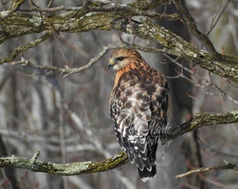 8x10 Picture Photo Print Red-Shouldered Hawk on Branch