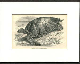 1865 Antique Print of Sea Turtle Green Turtle