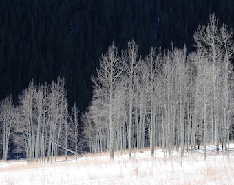 Aspen Grove in Winter - Printed Photograph, Nature Photography, Home Decor, Wall Art, Poster, Birch Tree, Aspen Trees