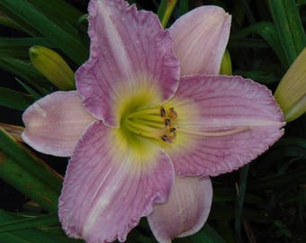 Daylily Plant - Dreamy (S-3.62)
