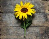 Hopi Dye Sunflower, heirloom flower seeds, organic flower seeds, organic sunflower seeds, heirloom sunflower, flower garden, gardening