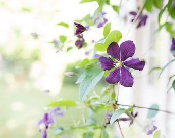 purple clematis in my garden - delicate flowers -flower photography -pretty petals ( Original fine art photography prints) FREE Shipping