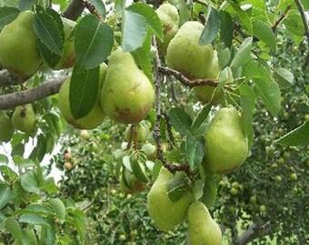 100 Bartlett Pear Tree Seeds, Pyrus Communis Bartlett