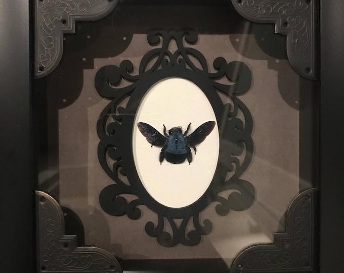 Real blue carpenter bee taxidermy display! Must see!