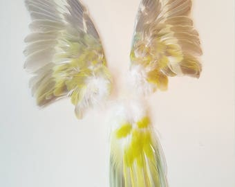 Real taxidermy wings and tail red-rumped parrot