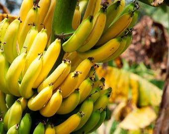 Banana seeds ,517, yellow banana, fruit seeds, non gmo seeds, gardening , greek seeds, summer seeds