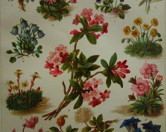 "BOTANY old print of plants and flowers 1898 original antique botanical alpine rose illustration edelweiss alps flower vintage pictures 6x10"""