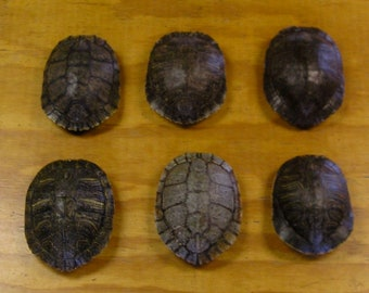 "6 - 6"" Red Ear Slider Turtle Shells"
