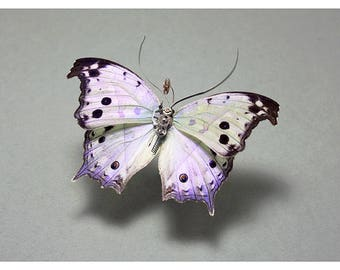 Insect Lab Butterfly Print various sizes (Nymphalidae: parhassus salamsis)