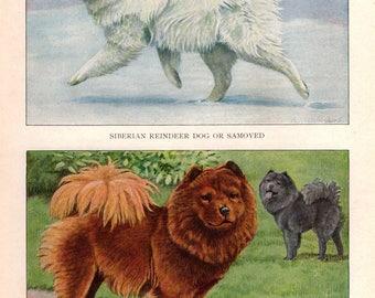 1927 Original Vintage Dog Print by LOUIS AGASSIZ FUERTES Samoyed Chowchow