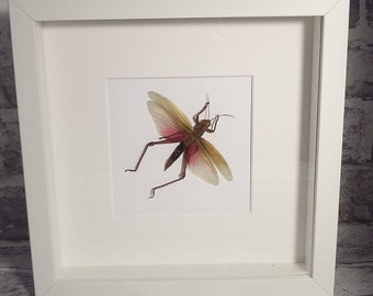 Framed insect