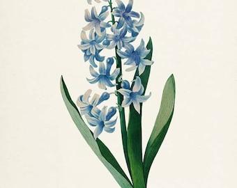 Common Hyacinth Flower Art Print, Botanical Art Print, Flower Wall Art, Flower Print, Floral,Redoute Art, blue, green, Hyacinthus orientalis