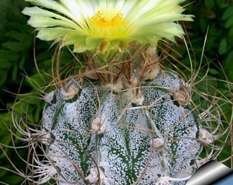 10 Seeds Astrophytum crassipinoides