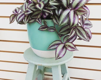 Bi-color Wandering Jew Hanging Plant 6""