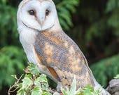 Barn Owl Blank Greetings ...