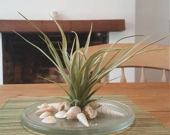 Silk air plant,  Air plant on glass plate with shells, Table arrangement, silk table arrangement on glass plate with shells,