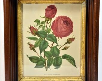 Vintage Framed Floral Print * Duchess of Edinburg Rose * wall art * framed art * home decor * shabby chic * cottage