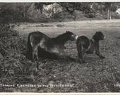 Morning Yoga - 1950s New Forest Ponies Real Photo Postcard