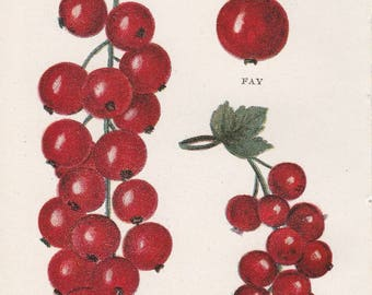 Antique Victorian Art Print-Book Plate-Lithograph-Currants-Biggle Berry Book 1905