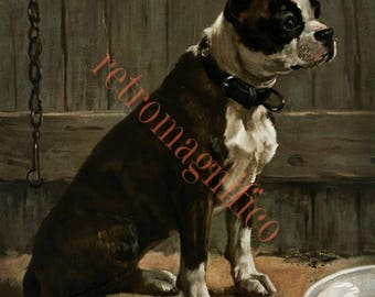 Victorian era Boston Terrier dog image from 1800's digital download art print, for framing, collage, mixed media, altered art,