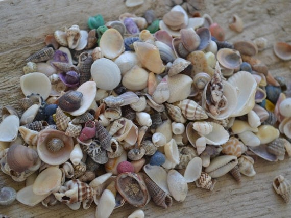 Assorted small seashells for crafts or decor 1 4 cup for Large seashells for crafts
