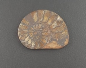 Ammonite Cabochon, 28x36mm, large fossilized seashell, ammonite slice, ammonite fossil shell, ammonite half, natural, fossil shell, mgsupply