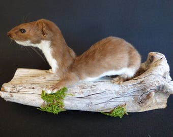 TAXIDERMY Adult Weasel (no.11). Mounted On Scottish Driftwood. Total Length Including Wood 24cm. Stoat Family.