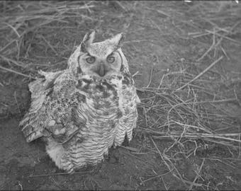 Poster, Many Sizes Available; Great Horned Owl Sitting On Ground Nara 283826