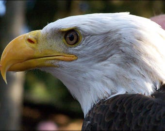 Poster, Many Sizes Available; Bald Eagle Close Up