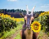 Funny Goat Print, Sunflower Field, Whimsical Goat Art, Goat Eating Flowers, Funny Animal Artm, Dwarf Goat Print, Goat Portrait, Animal Humor