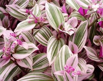 Wandering Jew Rainbow in pot - Tradescantia Albiflora Rainbow - House Plants