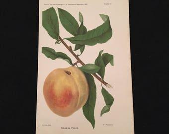 Robena Peach - Original Antique Print, 1893 Dept. of Agriculture Print, Vintage Kitchen Decor