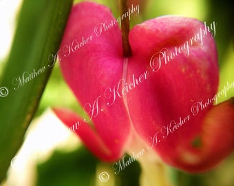 Bleeding Heart - Valentine's Day - Sweetest Day - Heart - Macro - Red Heart - Red