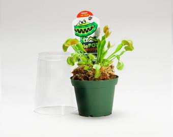 Venus Fly Trap - Live Plant - Dionaea Muscipula Flytrap - Carnivorous Plant 3 inch pot with dome