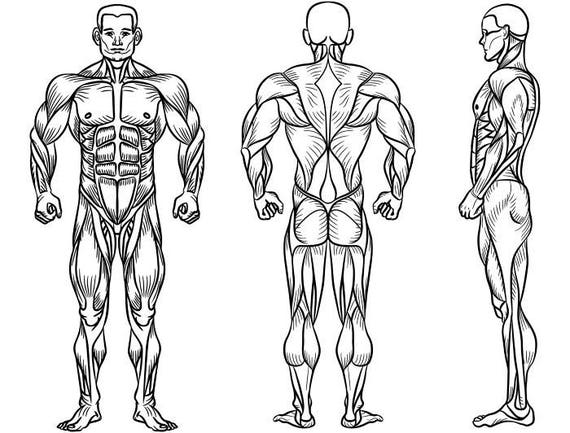 male human body muscular muscle system 2 bodybuilding