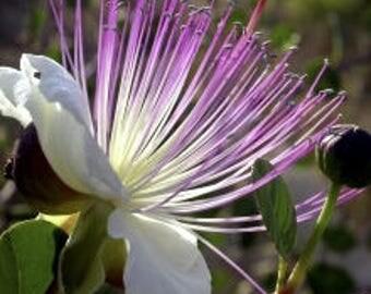 CAPER BUSH - Capparis Spinosa (60 SEEDS) Perennial Herb