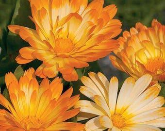 Calendula 'Oopsy Daisy' Seeds/ Calendula officianalis AKA English Pot Marigold