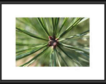 Pine, Photography, Free Shipping, Print, Framed Print, Canvas Wrap, Canvas with Floating Frame. Nature Pic, Wall Art, Home Decor, Tree Photo