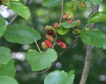200 Seeds Morus alba, White mulberry Seeds