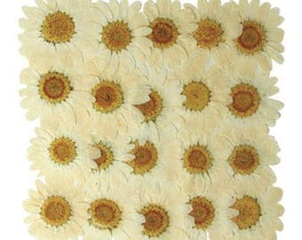 Pressed flowers, white marguerite 20pcs for art, craft, card making, scrapbooking, jewellery making