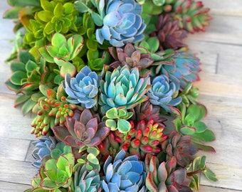 50 Succulent Cuttings