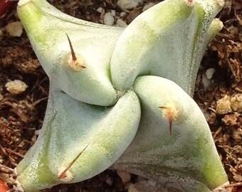 """Lemaireocereus Pruinosus 2"""""""