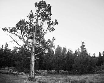 Tree Scars_Landscape_Photography_Nature_Travel_Big Bear_Black and White