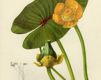 Vintage lithograph of the yellow water-lily or brandy-bottle from 1955