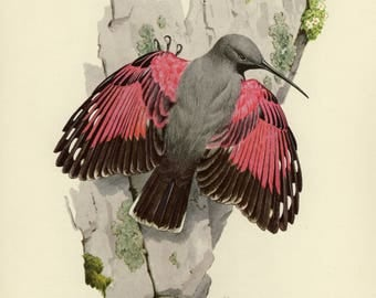 Vintage lithograph of the wallcreeper from 1953