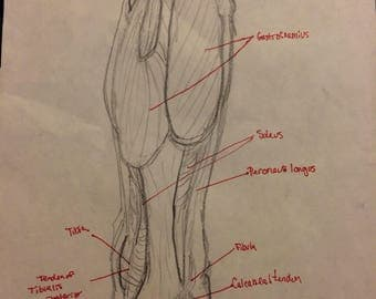 Anatomical Drawing: Muscles of the Lower Leg
