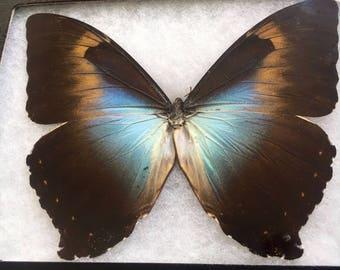 Framed Morpho Cisseis Gahua Butterfly