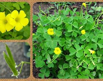 Yellow Wood-Sorrel 50/100/250 Seeds ~Oxalis stricta~ Organic ~ Lemon Grass, Lemon Clover, False Shamrock ~ Edible ~ Woodsorrel
