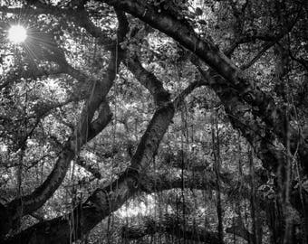 B&W Banyan Tree Canvas Wall Art